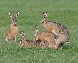 Reproduccion Conejos en Trio
