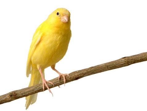 Curso Gratis de Aves Pajaros Canario